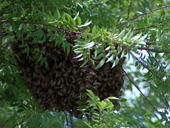 swarm of bees tennessee